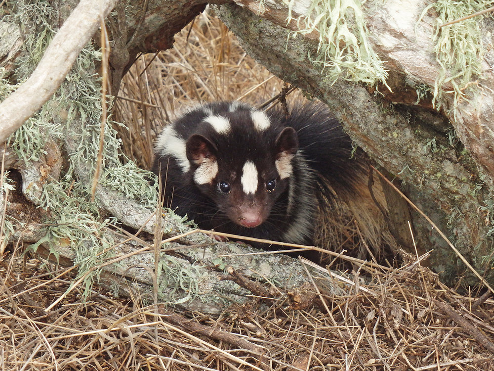 WS Channel Islands native skunk 2.jpg