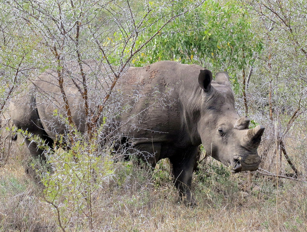 South Africa rhino-1170990.jpg