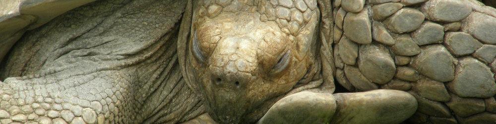 WS Ecuador Slice Galapagos Tortoise 2520565.jpg