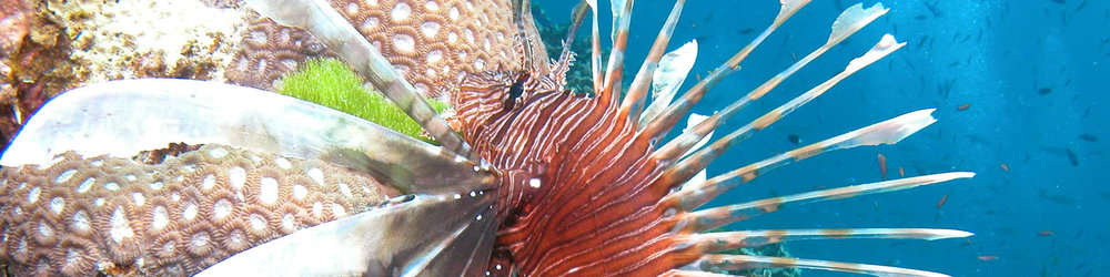 WS Australia slice lion fish.jpg