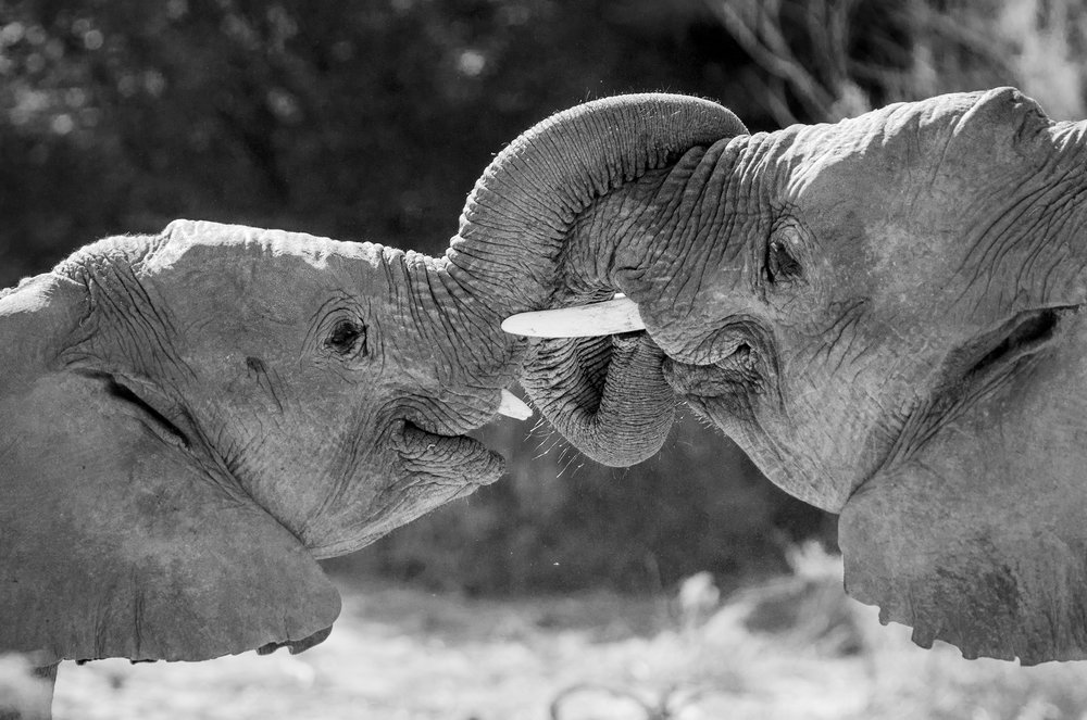 A pair of young desert elephants nuzzles one another playfully in Namibia's Torra Conservancy.