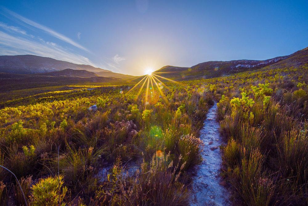 The fynbos, near Botrivier, South Africa.
