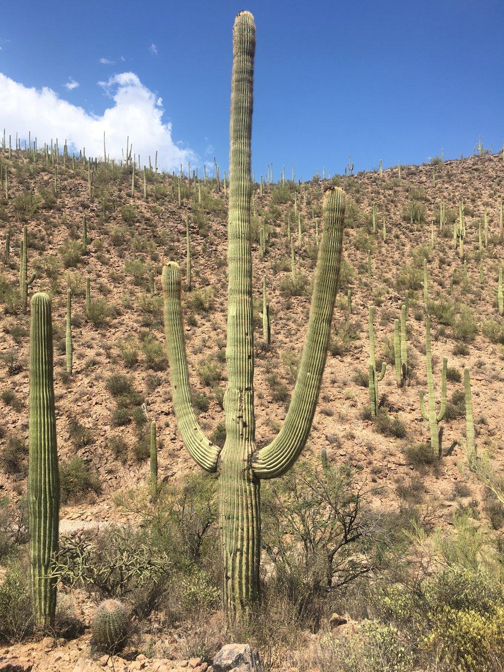 A fully-grown, centuries old Saguaro.