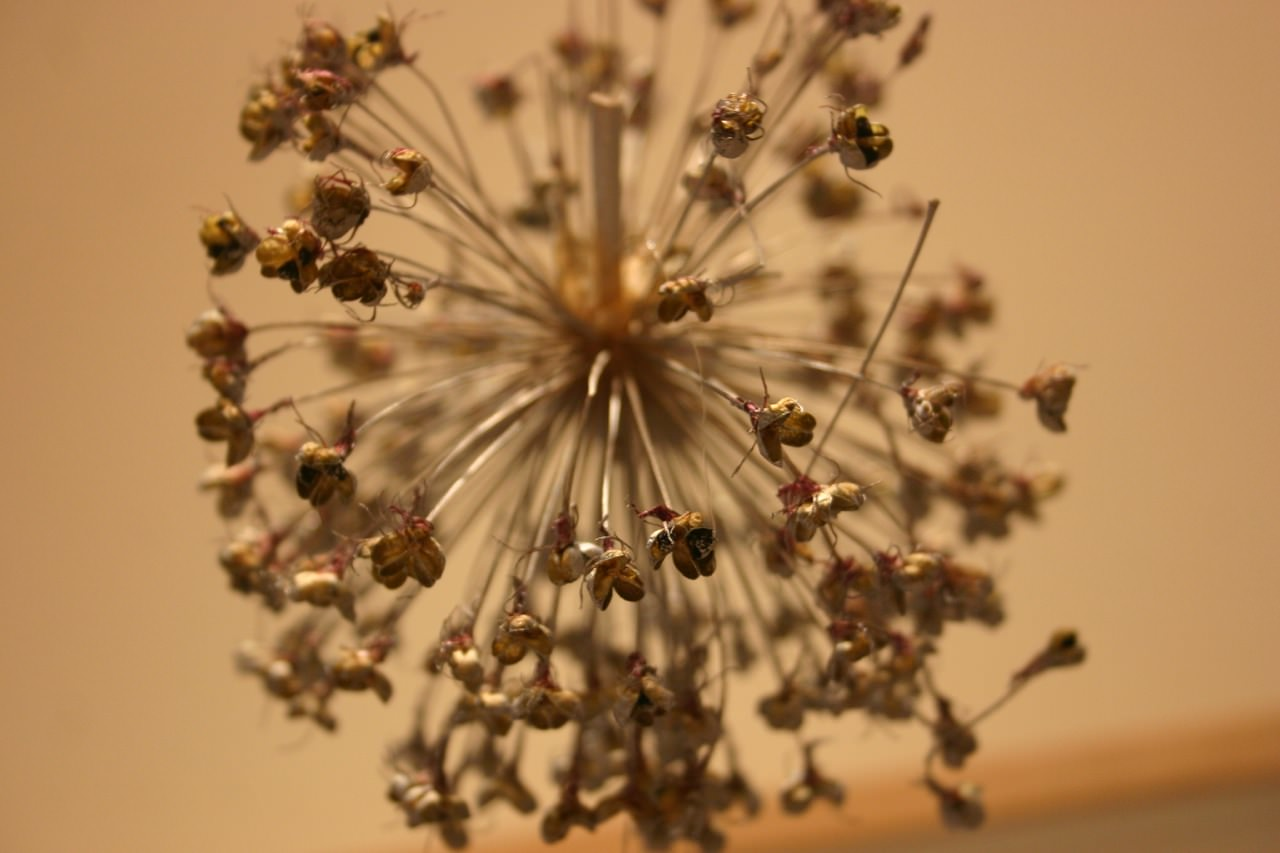 I sprayed my alliums silver...