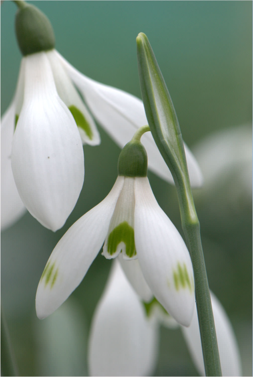 Evolution Plants Valentine Snowdrop