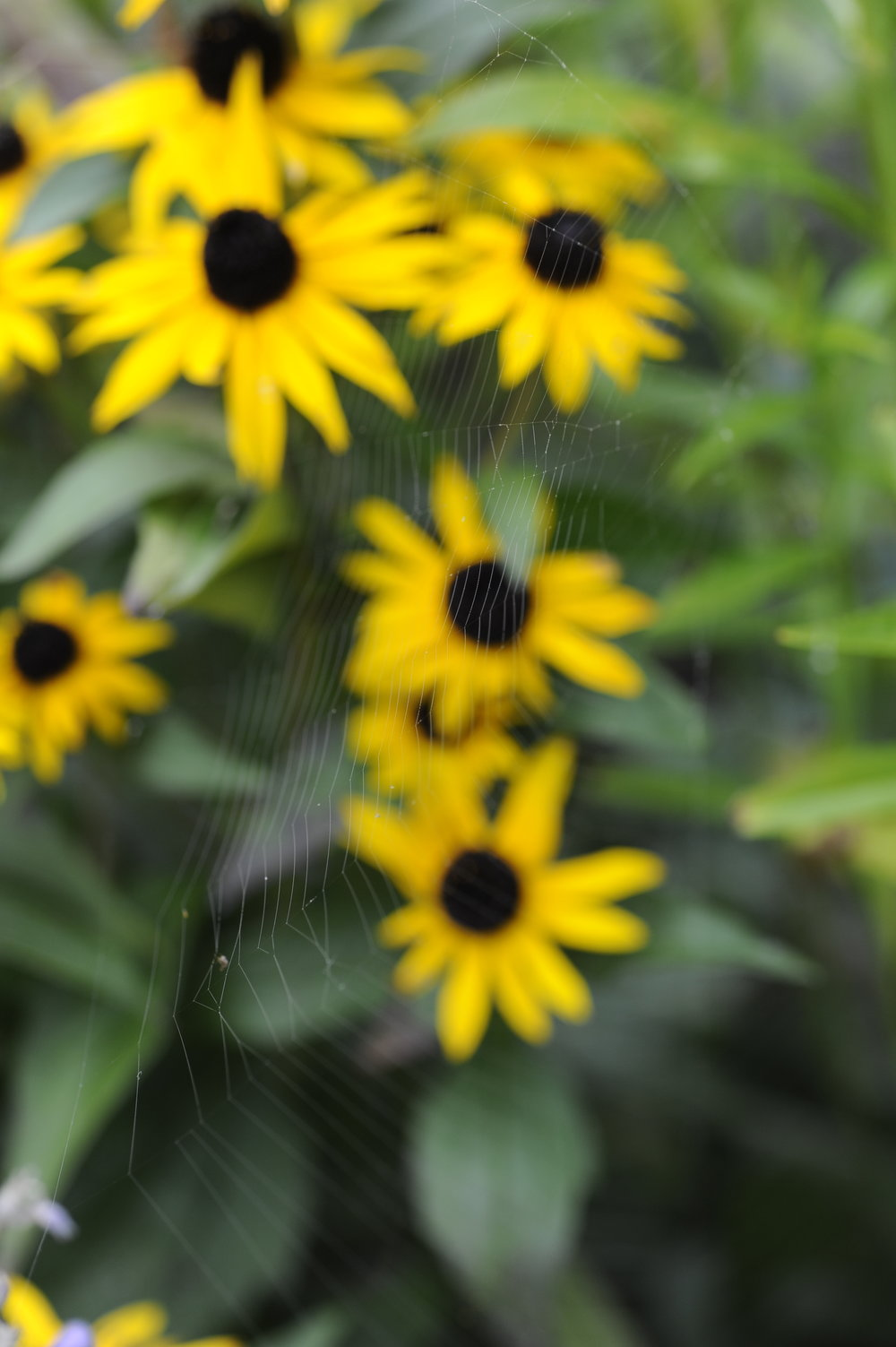 Rudbeckia - Picture by Jill Mead