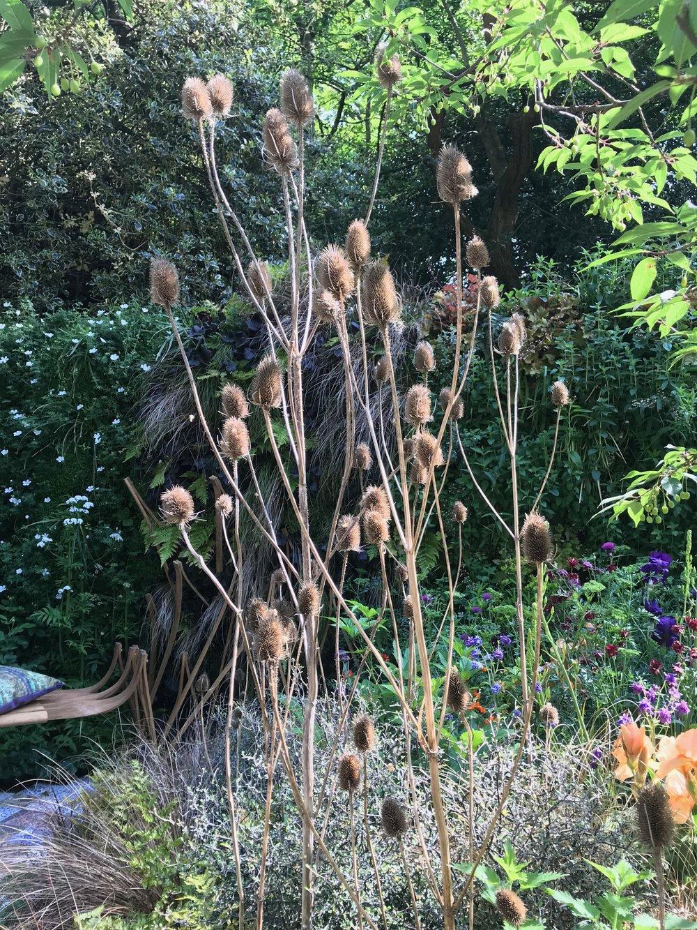Teasel seed-heads in Kate Crome's Epilepsy garden