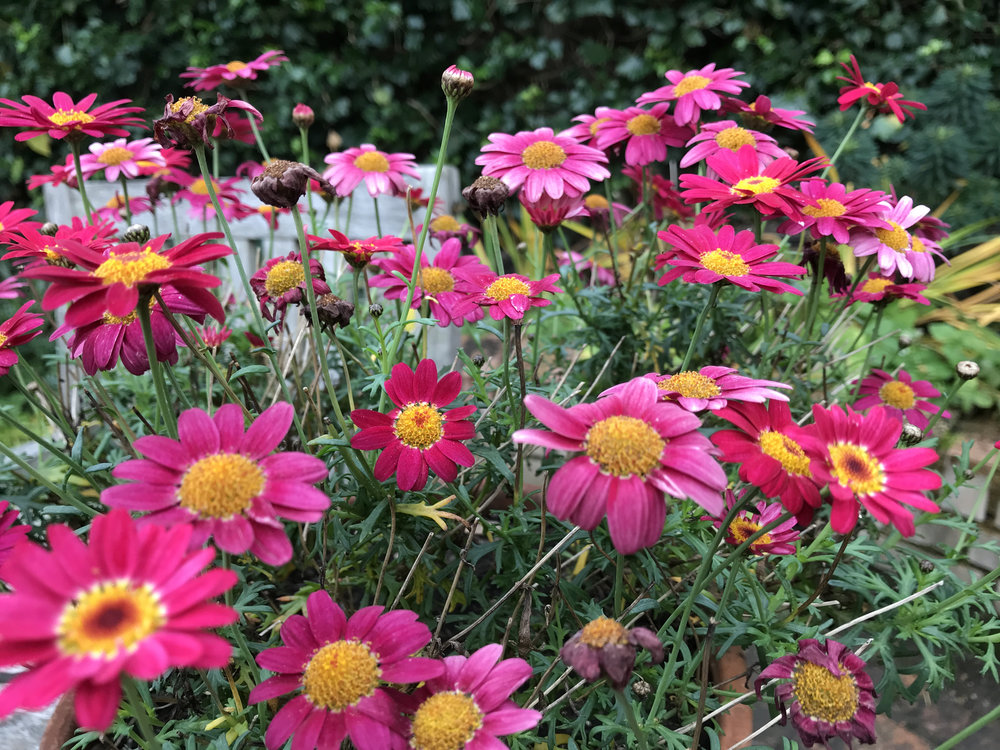Argyranthemum is a must-have