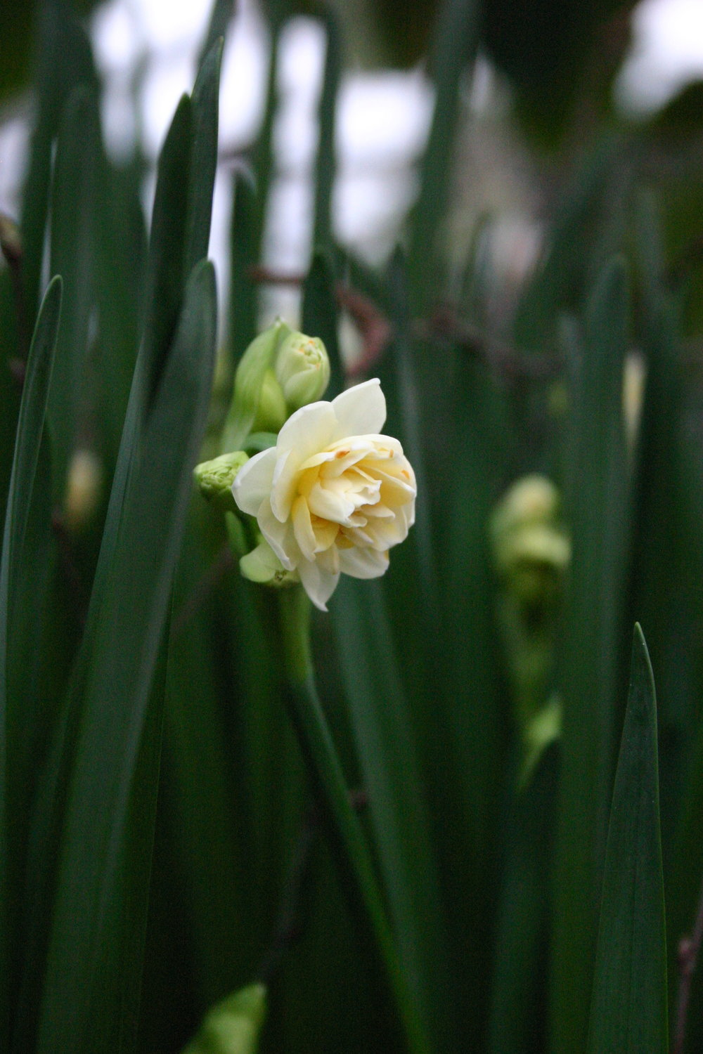 Paperwhite narcissi in an urn at Petersham