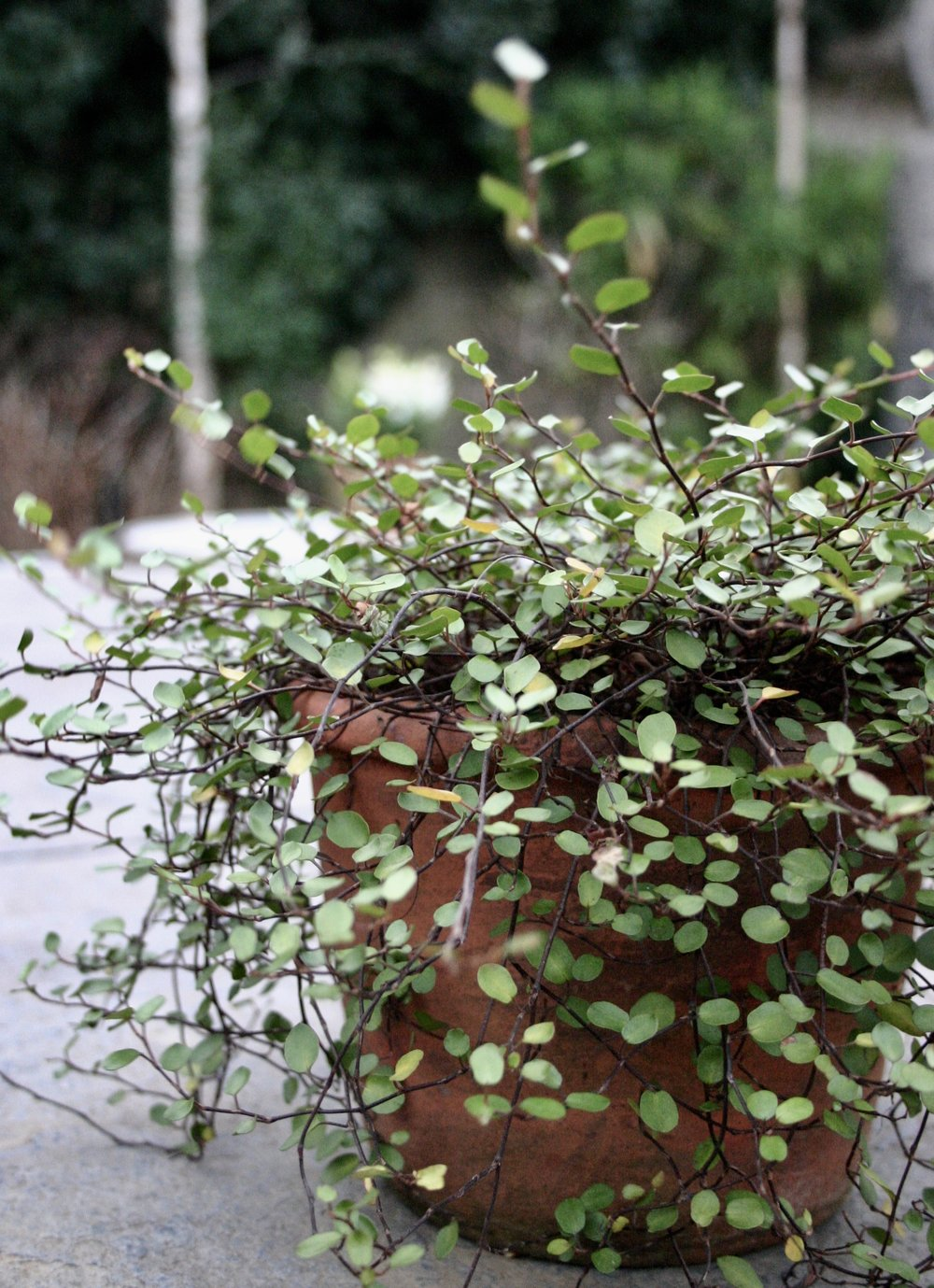 Muehlenbeckia on its own is great too.