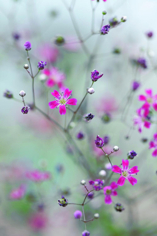 Gypsophila 'Kermesine' by Sabina Ruber