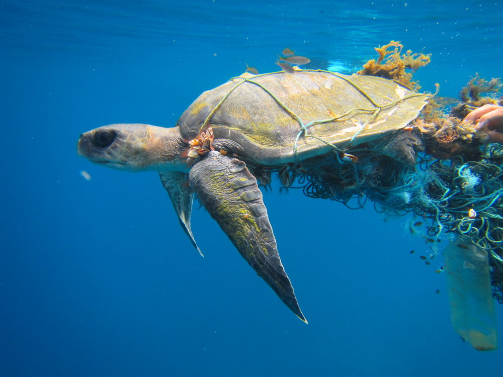 Photo courtesy of The Olive Ridley Project