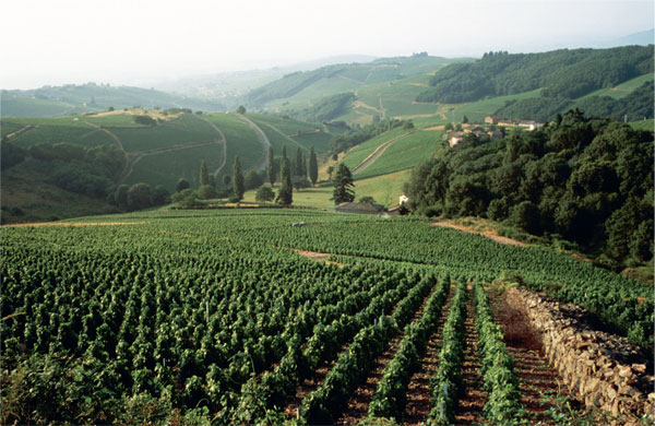 Beaujolais 1-VINEYARD.jpg