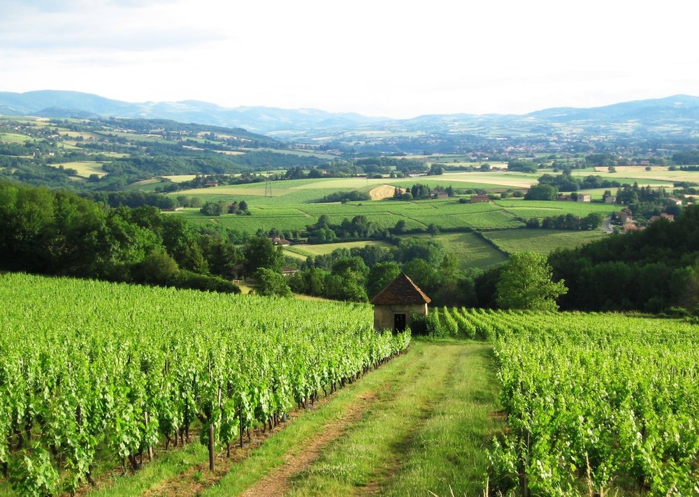 Beaujolais 2-VINEYARD.jpg