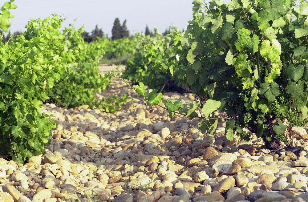 Vignes Chateauneuf du p.jpg