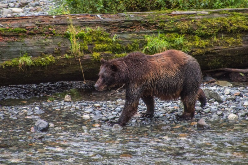 A mother brown bear, hunting for salmon. PC: Matt Koller