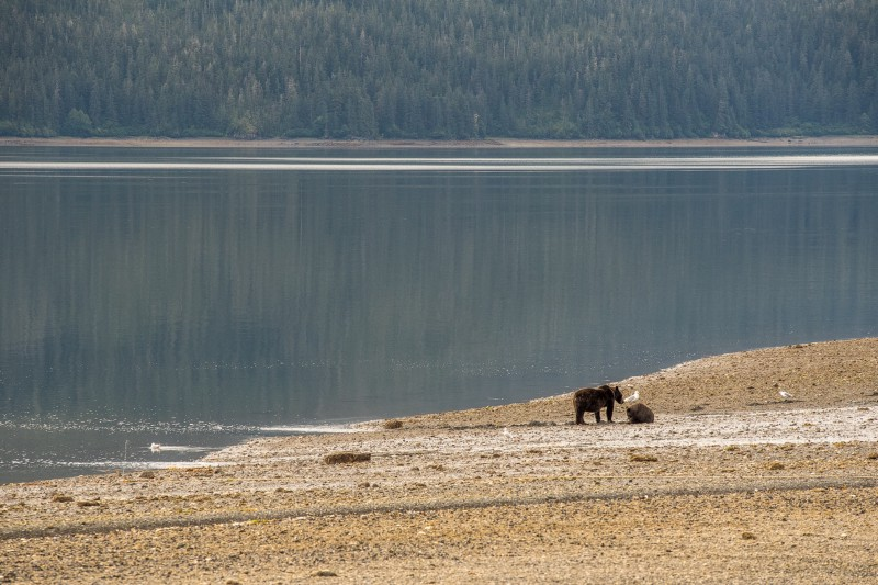 Mother and a sow, foraging for clams. PC: Matt Koller