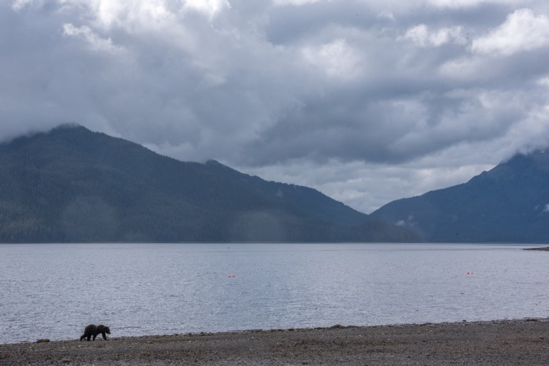 Subadult male, walking along the shore. PC: Matt Koller
