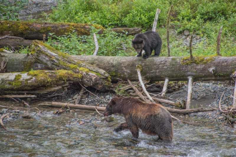 Sow and cub (both brown bears) hunt for salmon in Pack Creek. PC: Matt Koller