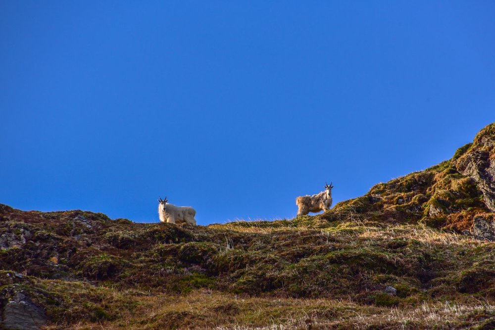 Mountain goats on the climb
