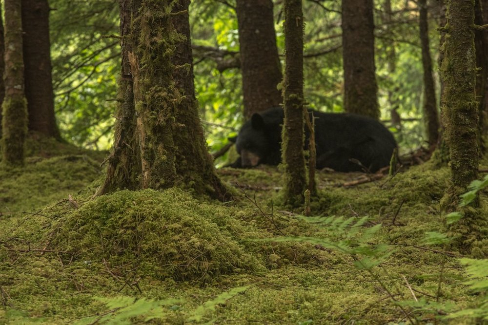 Black bear off the trail at the Mendenhall Glacier
