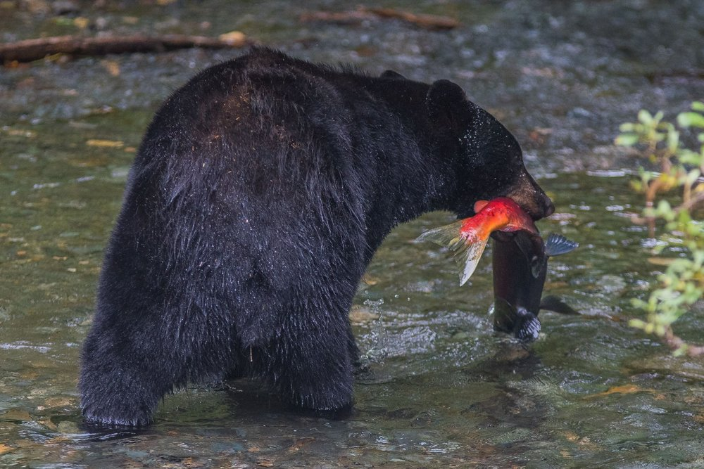 There are two kinds of bears in Southeast Alaska: black bears (which range in color from black to cinnamon) and brown bears (coastal brown bears, grizzlies, and kodiaks are all sub-species of brown bears).