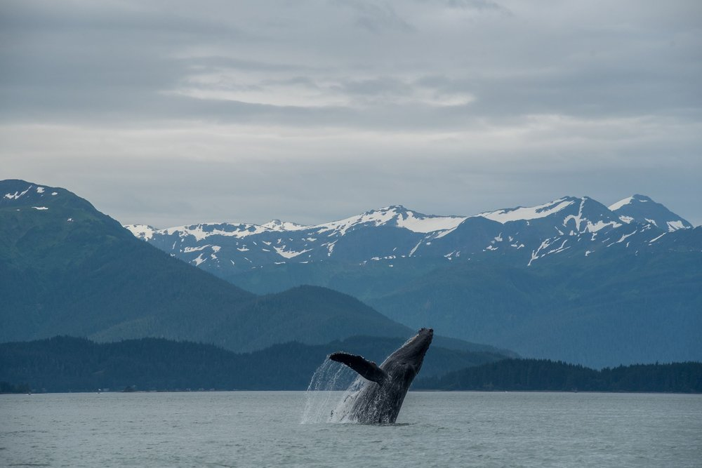 Humpback whale breaching off the coast of Juneau