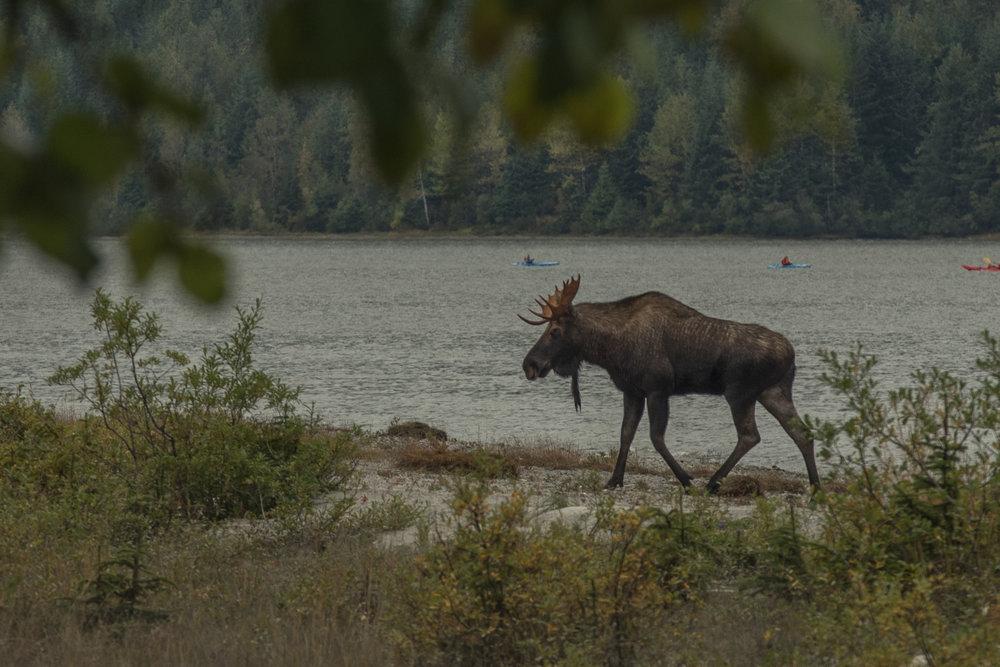 A rare moose sighting, seen at the edge of Mendenhall Lake.