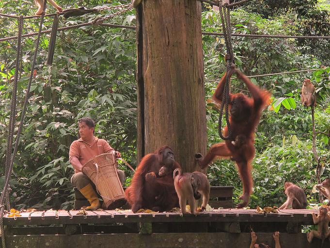 Feeding the juvenile (and mama!) orangutans