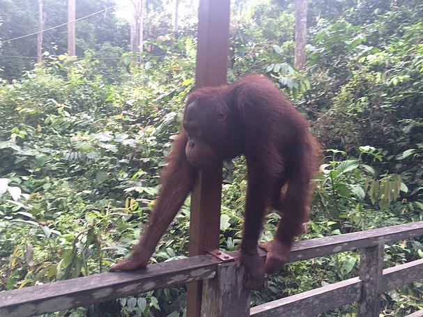 Orangutan, up and close