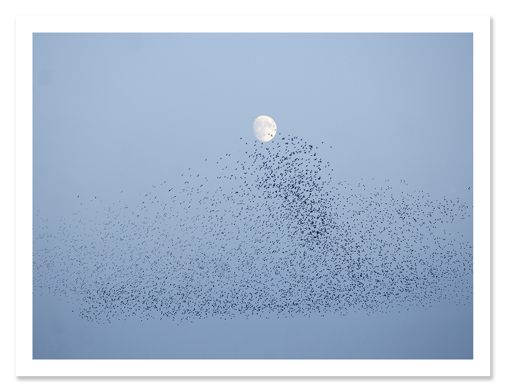 easton_starlings_06