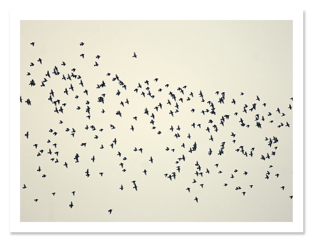 easton_starlings_04