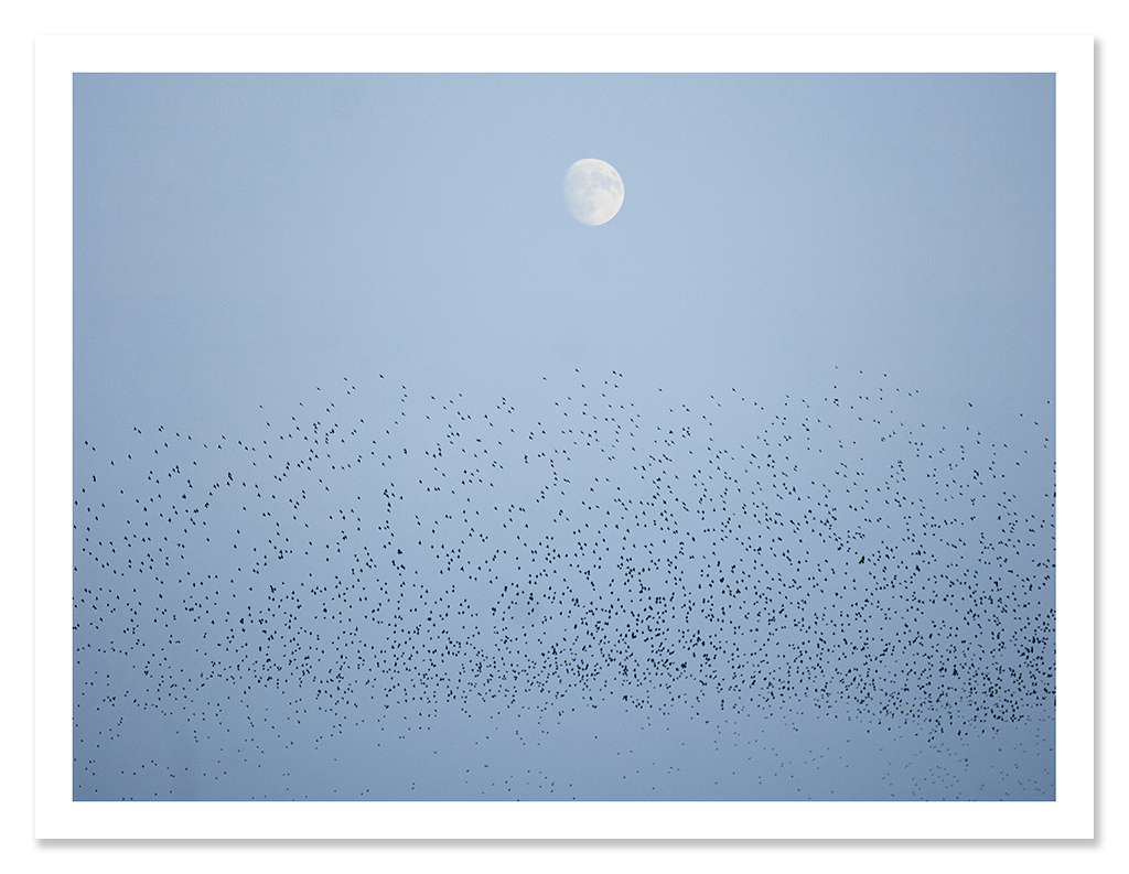 easton_starlings_05