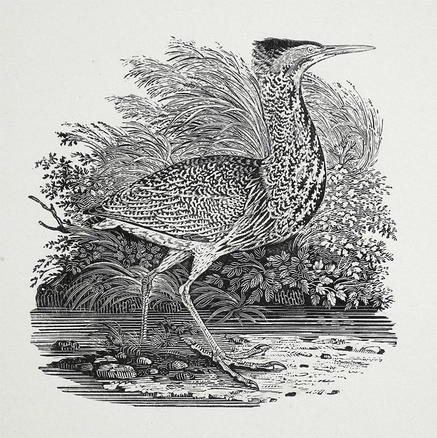 Thomas Bewick, Bittern (SOLD)