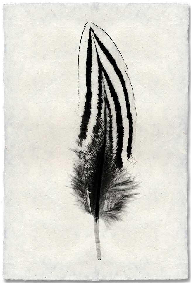 Feather Study #2 (Large)