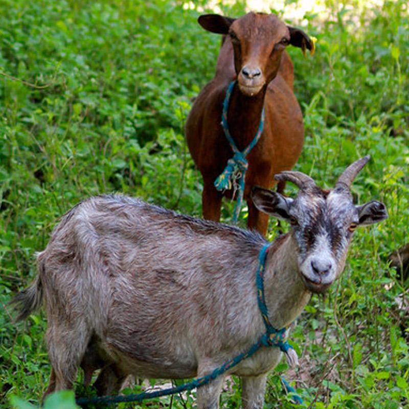 goat-square.jpg