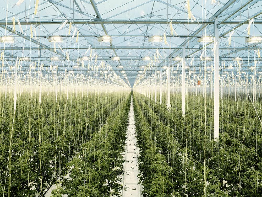 Tomato greenhouse 3, Holland, 2008.