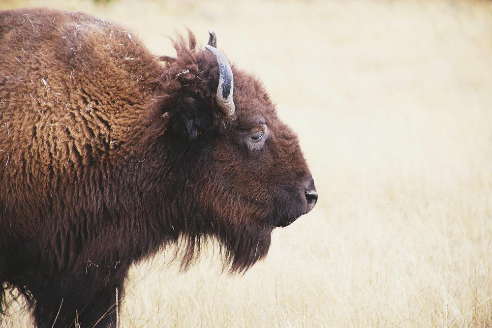 bisonprofile.jpg