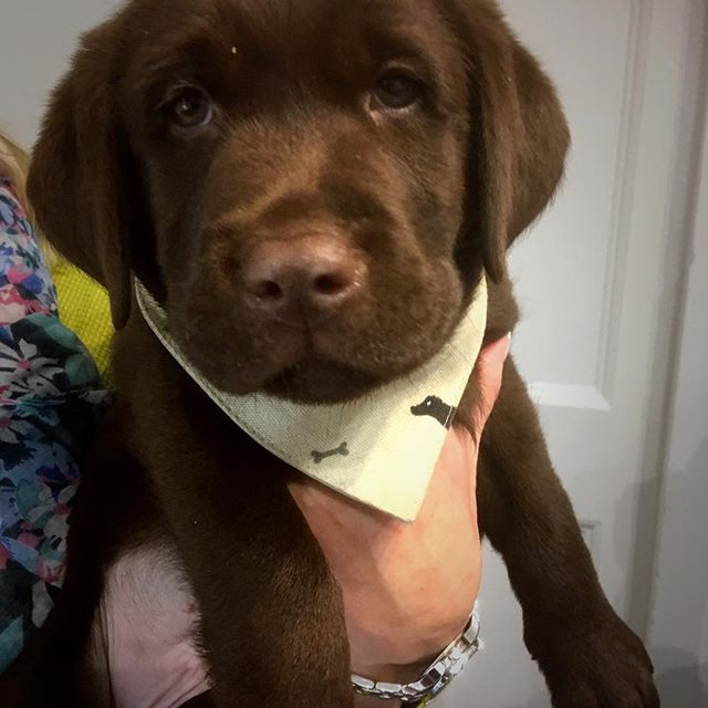 Brodie looked very smart in his bandana and was very relaxed about his vaccinations :) #puppiesofinstagram #labradorretriever #labsofinstagram #chocolatelab