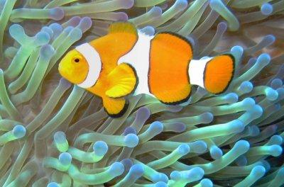 clownfish_anemone_symbiosis