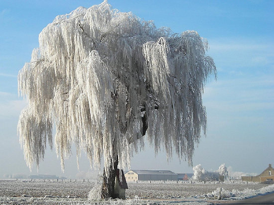 frostywillow
