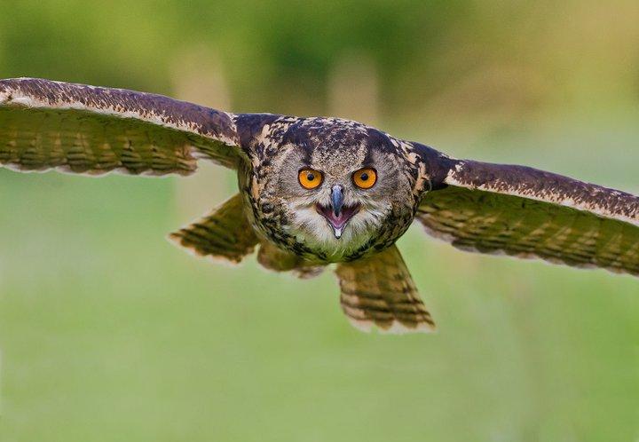 flying owl.jpg