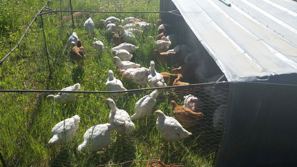 Chicken out in Sunshine and clean, green grass.