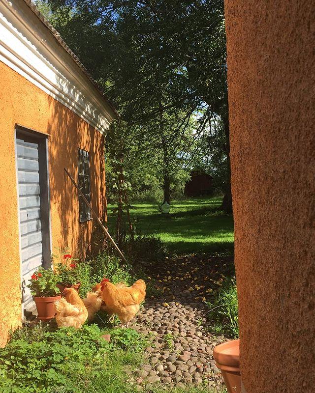 """Flygel och bostadshus målade med järnvitriol. 1743 upptäckte man att järnvitriol ger en mycket hållbar gul kulör i kalkmjölk. 🧡 på 1700 talet blev det vanligt att använda denna färg. Blandar man  kalkfärg med järnvitriol måste färgen användas samma dag. Färgen mörknar lång tid efter strykningen, man säger att den """"rostar"""". 🐓 #gotland #sverige #byggnadsvård #kulturvård #sweden"""