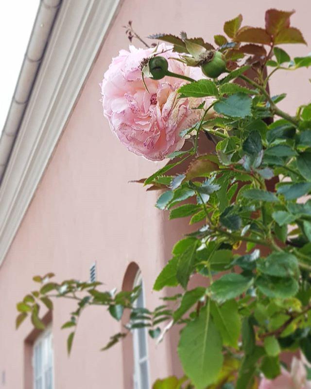Rosa slätputs med vit gesims.💓är det förresten någon skicklig gotlänning som vet var detta är? (Innerstan)..
