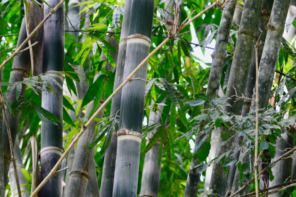 Dendrocalamus Asper is a giant species of bamboo that is now available in Ghana.