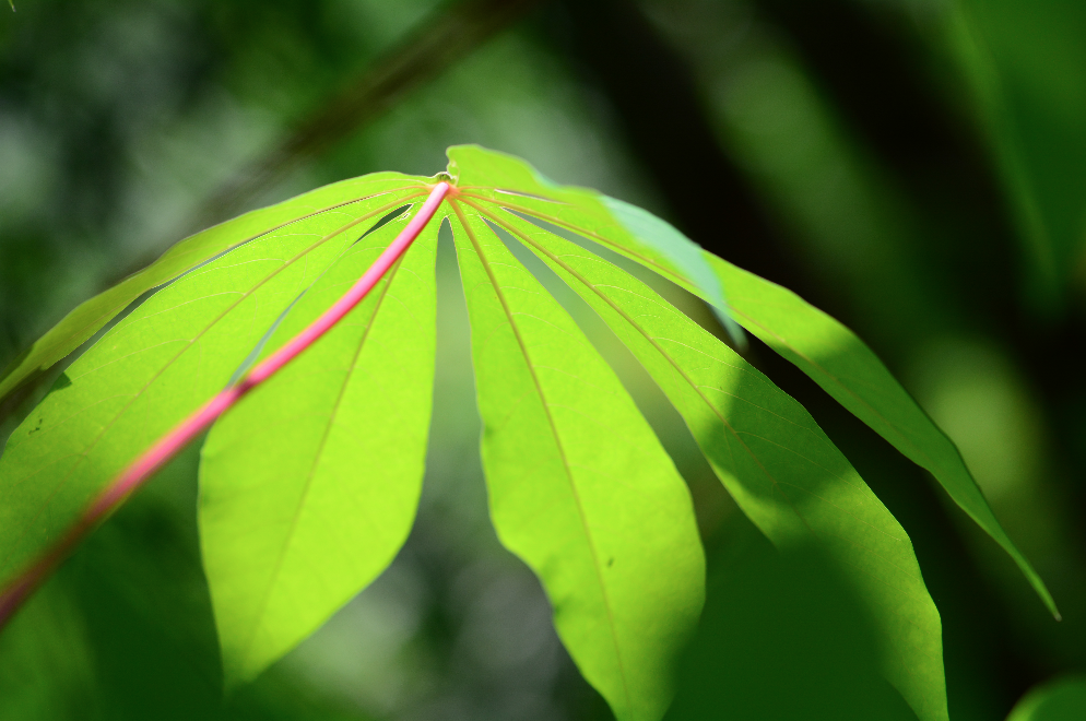 Cassava leaf.Bamboo is intercropped with Cassava.