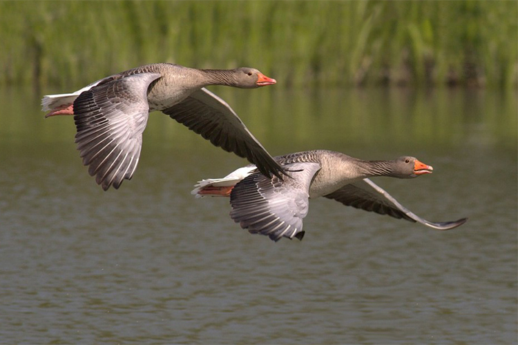canada-geese-348290_cropped.jpg