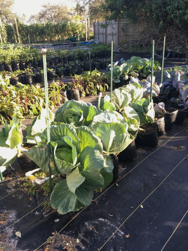 Ground Floor Farm cabbage.