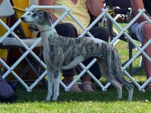 Best of Breed: CH Starline's Chanel